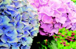 hydrangea blue pink