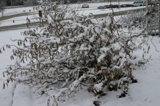 filbert snow