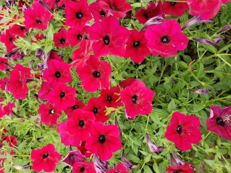 Tidel Wave red valour Petunia