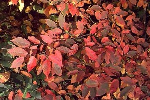 Fall color (Photo hort.uconn.eduplantPhotoscarcar13.jpg)